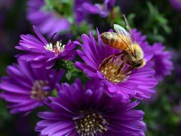 pszczoła na niektórych kwiatach - żółta pszczoła na kwiacie.