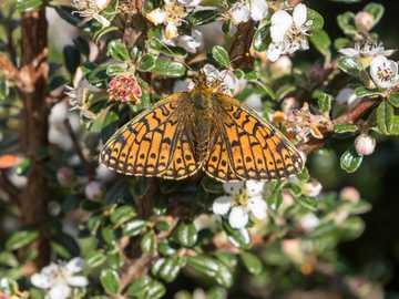 La farfalla - Piccolo Fritillary bordato di perle