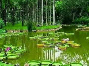 water lillies - lake with large water lilies
