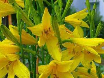 fiori gialli - fiori gialli rugiada dopo la pioggia
