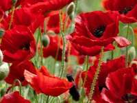 meadow with poppies - meadow - red - poppies