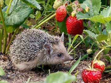 hedgehog and strawberries - hedgehog - in the garden with strawberries