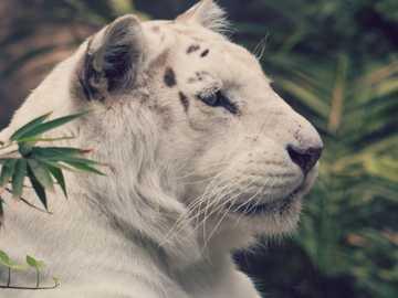 Puzzle tigre siberiana (bianca) - Questo è un puzzle che descrive una tigre siberiana nella giungla. È molto molto complicato per il