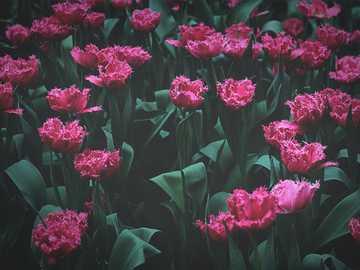 Zepsuty, ale piękny - różowy i czerwony postrzępiony tulipan kwiat pole. Flower Dome, Singapur