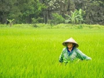 ryż to szczęście - kobieta nosi stożkowaty kapelusz idzie w kierunku pola ryżu. Wietnam
