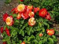 mooie rozen - rozen rozen niet van mij maar mooi