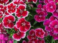 Rózsaszín és piros virágok