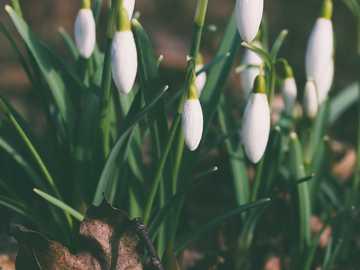 białe pąki kwiatowe - Przebiśniegi wiosenne i jesień liść. Parafia Pihtla, Estonia