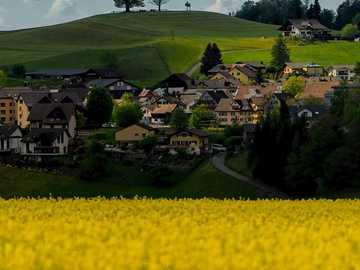 Wiosenne światło - żółte kwiatowe pole w ciągu dnia. Neuheim, Suiza