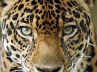 Jaguarul sud-american - Jaguarul sud-american. Cel mai mare Jaguar Felin.