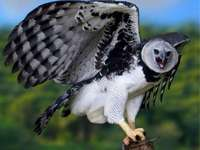 Vultur plesuv - Vultur plesuv. Harpy Vultur, Regina Cerurilor.