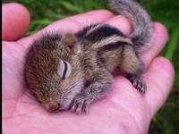 Filhote de esquilo