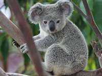 A koala puzzle