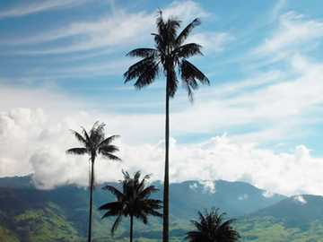 Wax Palm - Colombian national symbol
