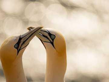 biało-żółta figurka ptaka - Para głuptaków, ciesząc się wieczornym światłem. Helgoland, Deutschland