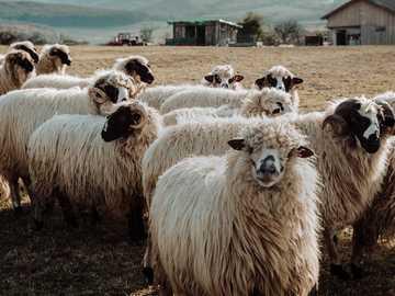 Sheep Sheep Hurra - stado owiec w polu.