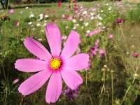 Rosa blomma - Ängblomma på sjön Zgorzała.