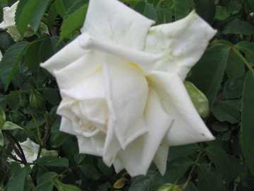 weiße Rose - Blumen laufen im Garten