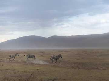 tres cebras corriendo - Cebras en el Parque Nacional Nakuru durante un safari en Kenia, África. Parque Nacional Nakuru, Nak