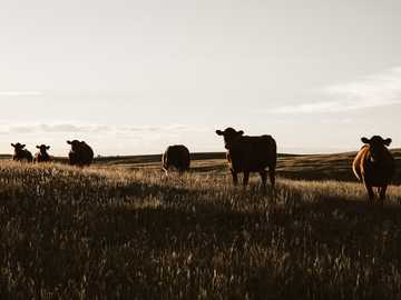 rebaño de vacas en pastizales - Más aventuras en mi propio patio trasero. Three Hills, Canadá
