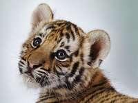 tigris kölyök