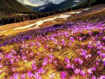 Krokusse in der Tatra - Sie blühen am schönsten in den Bergen