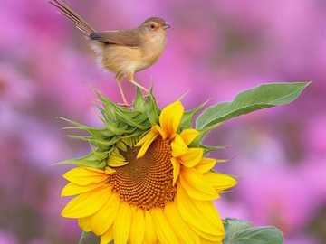 ptak i słonecznik - ptak na słoneczniku - piękna przyroda