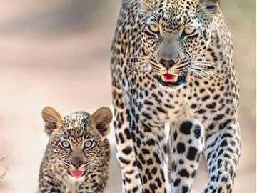lamparty - piękne zwierzęta - lamparty - piękne zwierzęta - rodzina kotów