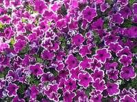 Ωραία μοβ άνθη