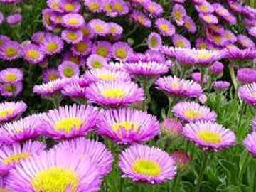 Jesienne marcinki - Jesienne fioletowe marcinki