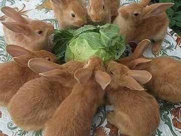 króliczki na śniadanie - króliczki na śniadanie wokół kapusty