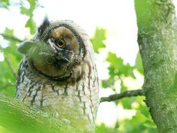 Sowa uszata - brązowa sowa na gałęzi drzewa w ciągu dnia.