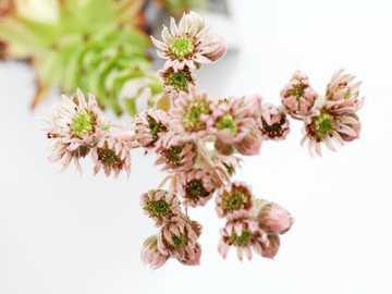 rozchodniki - różowe i białe kwiaty na białym stole.