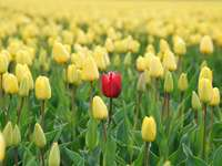 The Stranger Amoungst Us - red tulip flower in yellow tulip field. Alkmaar, Netherlands