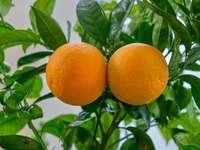 Sinaasappelen op boom - oranje fruit op boom overdag. Israël