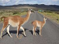 Guanacos in Chile
