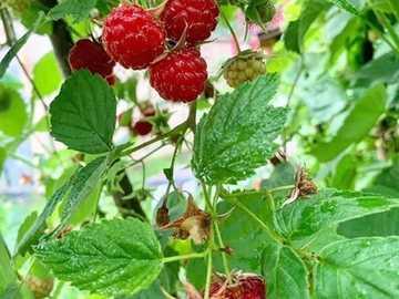 maliny - słodkie owoce - maliny - słodkie owoce -
