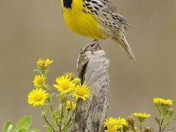 poranna piosenka - poranna piosenka - żółte ptaki i żółte kwiaty