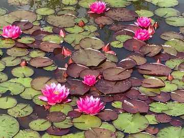 Magical water lilies - Beautiful water lilies in the garden pond