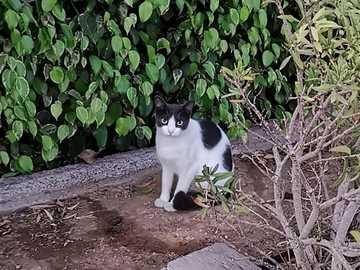 Cat in waiting position - Cat in the Canary Islands, waiting for food