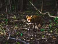 Raposa em uma floresta de primavera - fotografia de foco raso de animal marrom. Hovedøya, Oslo, Norge