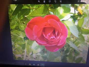 rote Rose - Rote Rose auf dem Hintergrund der Blätter