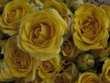 Gelbe Rokoko-Rosen - Foto von Akira LA Rosenstrauß