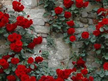 Roses ... - Roses ............................