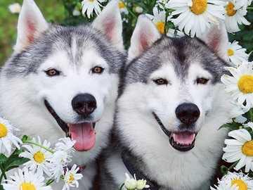 dwa psy husky - dwa psy husky - ukryte w stokrotkach