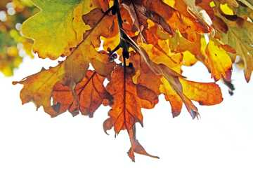 brown leaves - Autumnal leaves - watching the progression of them turning from green to yellow to this gorgeous rus