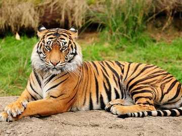 Asijské zlatý tygr - Asijské zlatý tygr