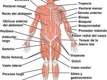 système musculaire - savoir comment les parties du système musculaire humain sont identifiées
