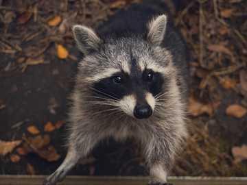 Racoon stuff - macro shot photography of raccoon. Edersee, Germany
