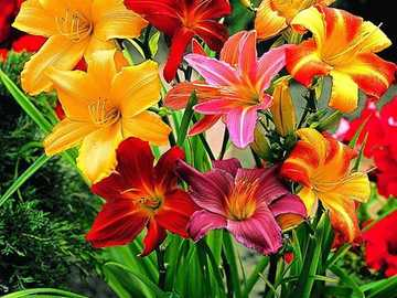 Colorful daylilies. - Puzzle: colorful daylilies.